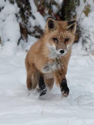 Photograph - Red Fox 7130 by Teresa Wilson