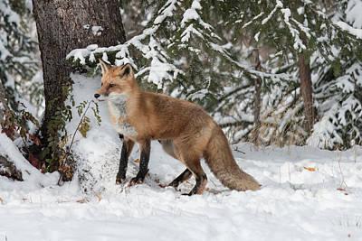 Photograph - Red Fox 7156 by Teresa Wilson