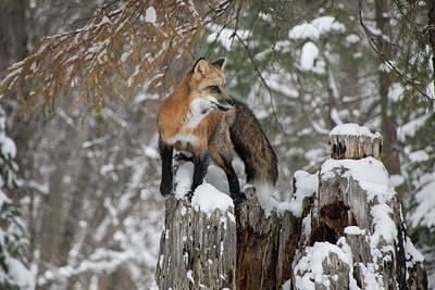 Photograph - Red Fox 9322 by Teresa Wilson