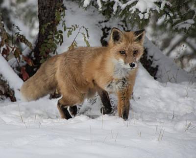 Photograph - Red Fox 9611 by Teresa Wilson