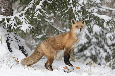 Photograph - Red Fox 9661  by Teresa Wilson