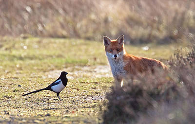 Red Fox And Magpie Art Print