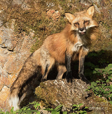 Photograph - Red Fox by Art Cole