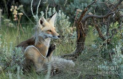 Photograph - Red Fox At Dusk by Adam Jewell
