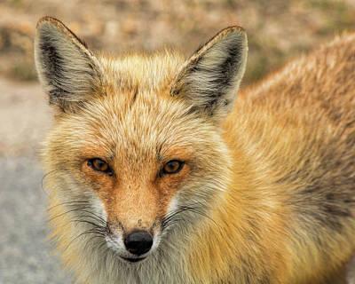 Photograph - Red Fox At Island Beach by Kristia Adams