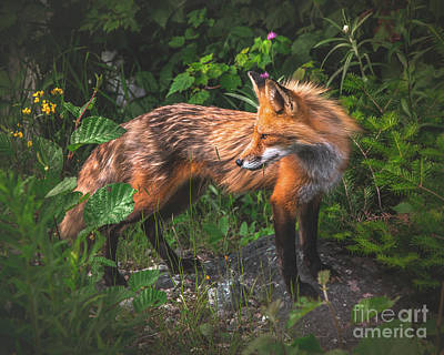 Photograph - Red Fox  by Benjamin Williamson