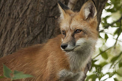 Red Photograph - Red Fox by Carolyn Brown