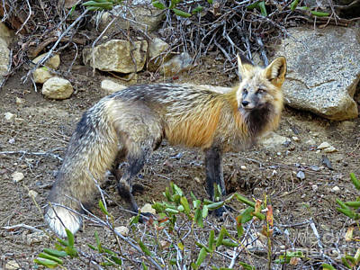 Photograph - Red Fox by Cindy Murphy - NightVisions