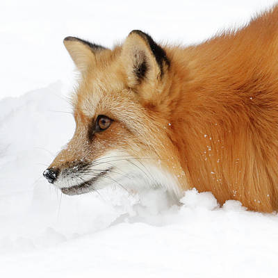 Photograph - Red Fox Close Up by Steve McKinzie