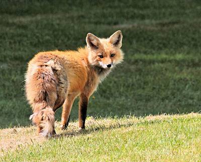 Photograph - Red Fox by Debbie Stahre