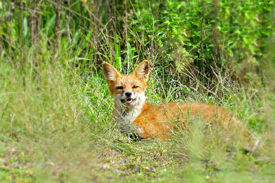 Photograph - Red Fox by Diana Angstadt