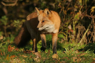 Print featuring the photograph Red Fox by Doris Potter
