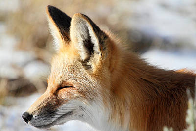 Photograph - Red Fox Enjoying The  Warm Sunlight by Pierre Leclerc Photography