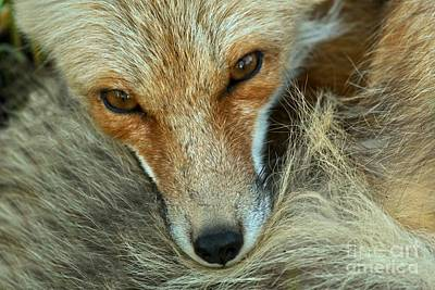 Photograph - Red Fox Eyes by Adam Jewell