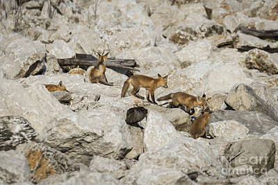 Photograph - Red Fox Family by Andrea Silies