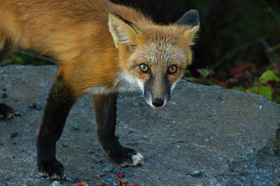Photograph - Red Fox Gaze by Marie Jamieson