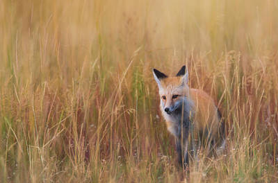 Photograph - Red Fox Hunting  by Kelly Marquardt