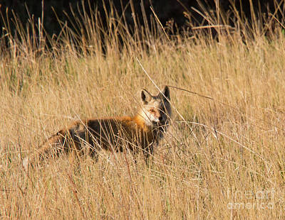Photograph - Red Fox Hunting by Steve Krull