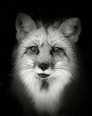 Photograph - Red Fox II by Athena Mckinzie