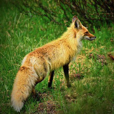 Photograph - Red Fox Impressionist Portrait by Greg Norrell
