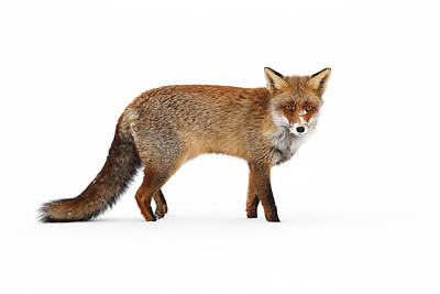 Red Fox In A White World II Art Print