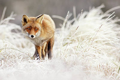 Winter Storm Photograph - Red Fox In A Winter Landscape by Roeselien Raimond