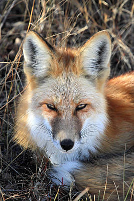 Photograph - Red Fox In Grand Teton National Park by Pierre Leclerc Photography