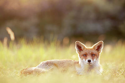 Red Fox In Late Summer Art Print by Roeselien Raimond