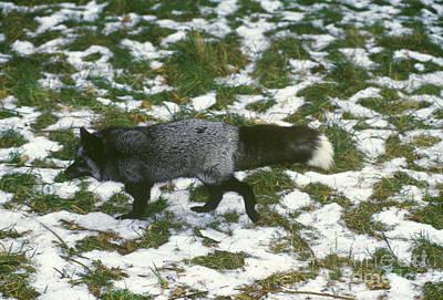 Red Fox In Norway Art Print by Jean-Louis Klein & Marie-Luce Hubert