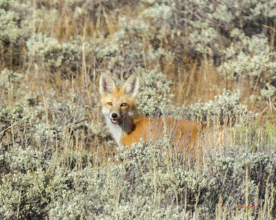Photograph - Red Fox In Sage Brush by Stephen Johnson
