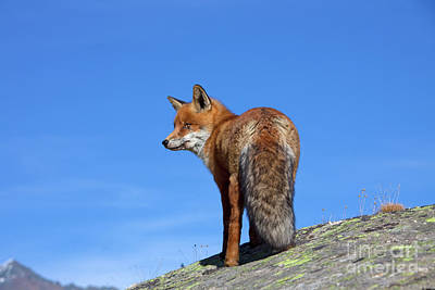 Photograph - Red Fox In The Mountains by Arterra Picture Library