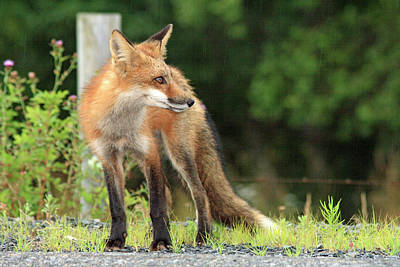 Photograph - Red Fox In The Rain by Gary Corbett