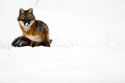 Red Fox In The Snow Art Print