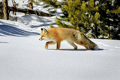 Photograph - Red Fox In Winter by Jack Bell