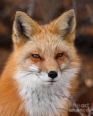 Red Fox In Winter Ruff Art Print by Max Allen