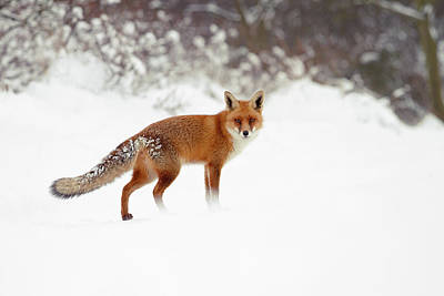 Winter Scenes Photograph - Red Fox In Winter Wonderland by Roeselien Raimond