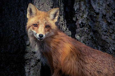 Photograph - Red Fox by Jessica Nelson