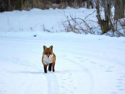 Photograph - Red Fox by Jouko Lehto