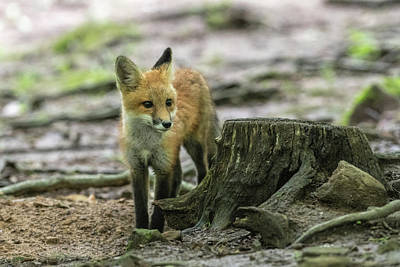 Photograph - Red Fox Kit Behind A Stump by Dan Friend