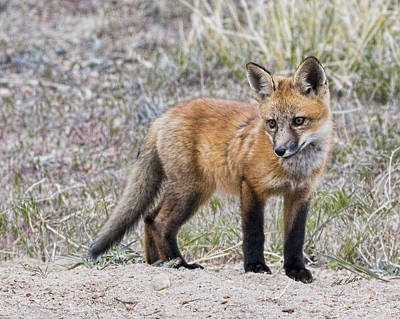 Photograph - Red Fox Kit by Bill Kesler