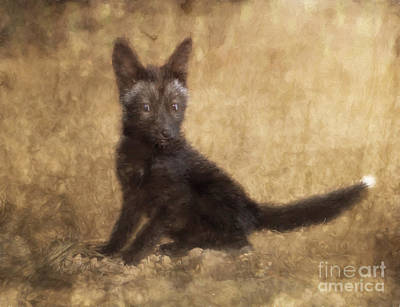 Photograph - Red Fox Kit Black Phase Digital Photo Painted Captive by Clare VanderVeen