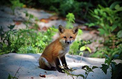 Photograph - Red Fox Kit by Cynthia Guinn
