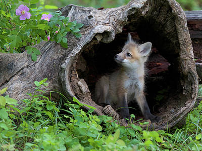 Photograph - Red Fox Kit by Dee Carpenter