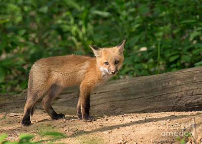 Photograph - Red Fox Kit by Joshua Clark