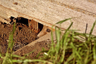 Red Fox Kit Peaking Out From Den Under Old Granary Print by Mark Duffy
