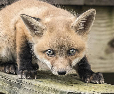 Photograph - Red Fox Kit Portrait Headshot by William Bitman