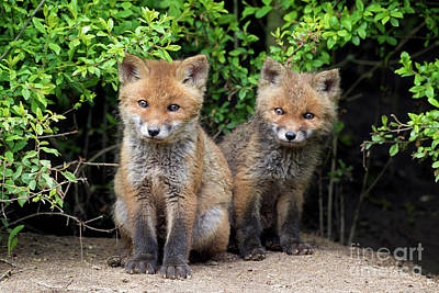Photograph - Red Fox Kits by Arterra Picture Library