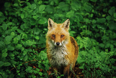Photograph - Red Fox Mama by Jessica Nelson