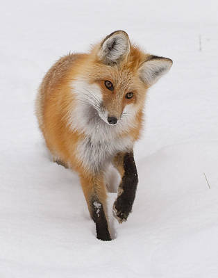 Photograph - Red Fox Portrait by Mark Miller