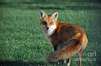 Photograph - Red Fox  by Maureen Cavanaugh Berry